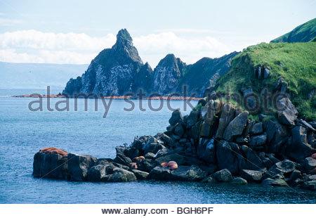 Alaska. Walross holte am Vorgewende des Strandes, Round Island. - Stockfoto