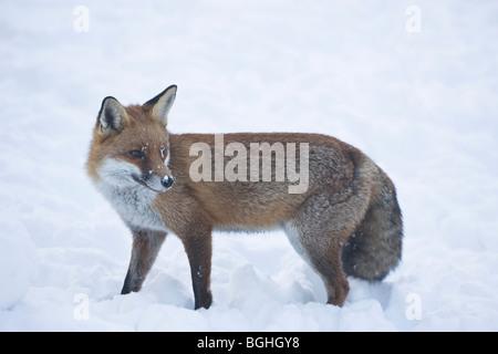 Rotfuchs Vulpes Vulpes Jagd nach Nahrung im Schnee Winter uk - Stockfoto