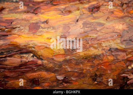 Nahaufnahme von nasser Kiefernrinde ( pinus sylvestris ), Finnland - Stockfoto