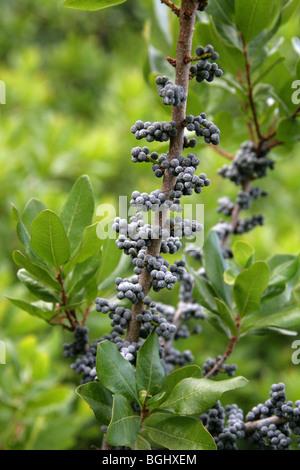 Nördlichen Bayberry, Myrica Pensylvanica, Myricaceae, North East USA, Nordamerika - Stockfoto