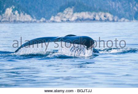(Impressionen Novaeangliae) Humpback Whale Tail in der Resurrection Bay, Kenai-Fjords-Nationalpark. Seward, Alaska. - Stockfoto