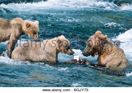 Alaska. Katmai Nationalpark. Braunbär. Ursus Arctos. Fütterung auf Lachs fangen. - Stockfoto