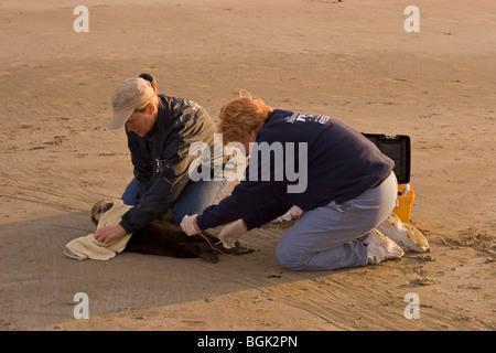 Freiwillige Rettung jungen Seeotter mit schweren Hypoglykämie und Acanthocephalan Peritonitis, eine abdominale Entzündung - Stockfoto