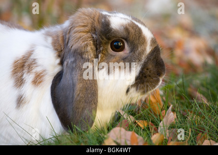 holland lop kaninchen drau en im garten stockfoto bild 56844555 alamy. Black Bedroom Furniture Sets. Home Design Ideas