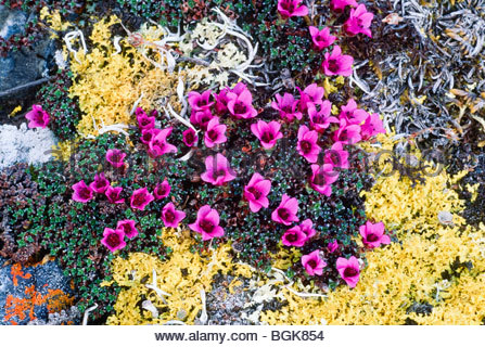 Arctic National Wildlife Refuge, ANWR - Alaska. Lila Steinbrech (Saxifraga Oppositifolia, wachsen auf alpine Tundra - Stockfoto