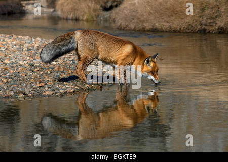 Rotfuchs (Vulpes Vulpes) Trinkwasser aus Fluss - Stockfoto