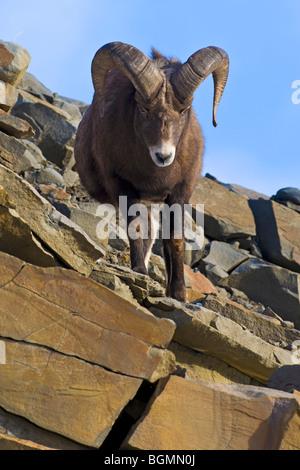 Eine ausgewachsene Bighorn Schafe - Stockfoto