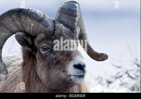 Ein Porträt von einem erwachsenen männlichen Bighorn Sheep - Stockfoto