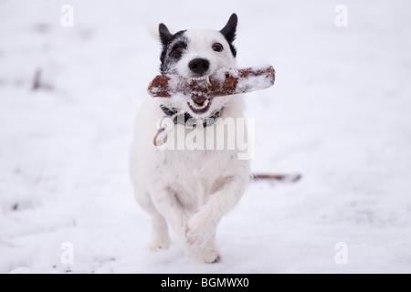 Jack Russell holen seinen Stock im Schnee - Stockfoto