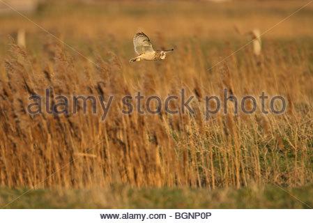 Sumpfohreule (Asio Flammeus) im Flug jagen über polder - Stockfoto