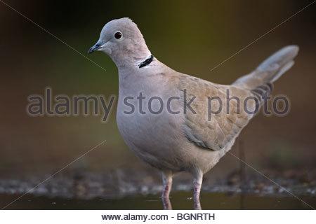 Eurasian Collared Dove (Streptopelia Decaocto) im Pool, Belgien - Stockfoto