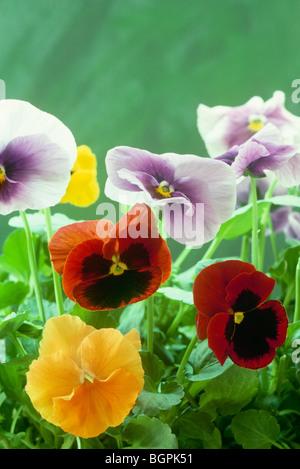 Mehrfarbige Stiefmütterchen, Viola Tricolor Hortensis, wachsen im Garten, Nahaufnahme. USA - Stockfoto