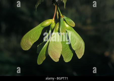 Silber Ahorn Acer saccharinum Samen oder Samara E USA Kanada, von Michael P Gadomski/Dembinsky Foto Assoc - Stockfoto