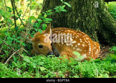White tailed deer Fawn Odocoileus virginianus im Wald Frühling östlichen Vereinigten Staaten versteckten, von George - Stockfoto