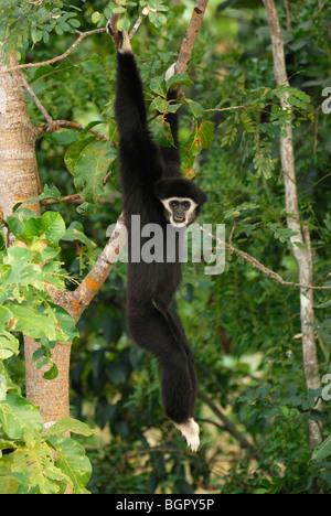 White-handed Gibbon (Hylobates Lar), hängen von einem Regenwald-Baum, Thailand - Stockfoto