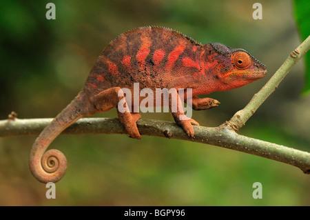 Pantherchamäleon (Furcifer Pardalis), Weiblich, spezielle Lokobe-Naturreservat, Nosy Be, Norden von Madagaskar - Stockfoto