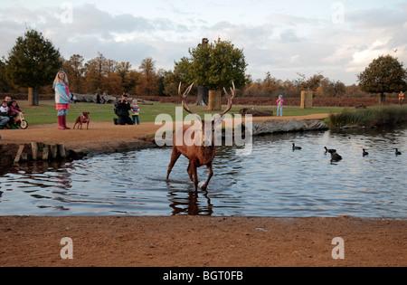 Eine große männliche Hirsch Rothirsch geht durch einen kleinen Teich mit Kindern beobachten, Bushy Park, Richmond, - Stockfoto