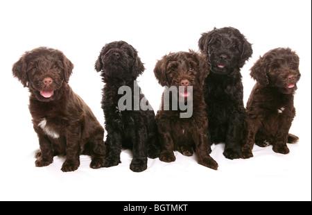Portugiesischer Wasserhund - fünf Welpen - Ausschneiden - Stockfoto
