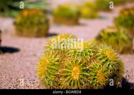 Runde Kakteen sind in Reihen, Las Vegas, NV aufgereiht.  Vielleicht Golden Barrel Cactus. - Stockfoto