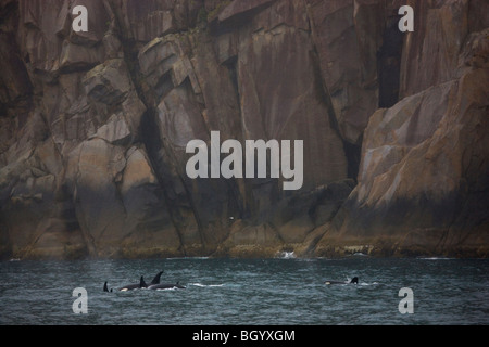 Orca Wale, Kenai-Fjords-Nationalpark, Alaska. - Stockfoto