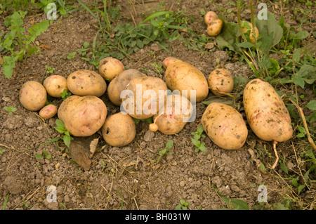 Kartoffeln (Solanum Tuberosum) auf eine Zuteilung Plot, singt der Schnecke Schaden zeigt frisch gegraben - Stockfoto