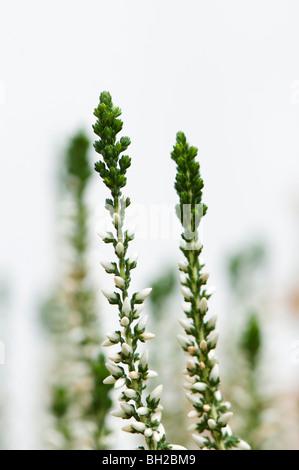 Calluna 'Garden Girls' weiß im winter - Stockfoto