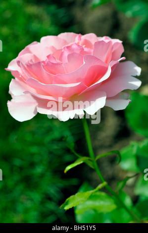 Rosa rose - Stockfoto