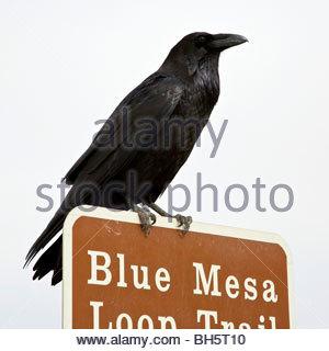 Kolkrabe (Corvus Corax) hoch oben auf einem Wegweiser in der Wüste, Arizona schmerzte. - Stockfoto