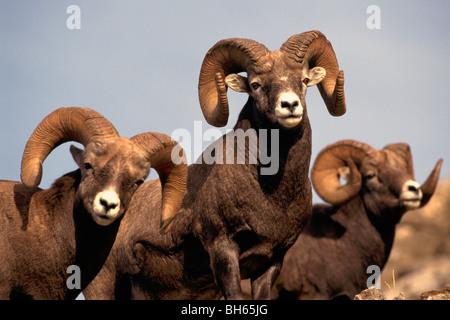 Rocky Mountain Bighorn Schafe Rams (Ovis Canadensis), Jasper Nationalpark, Kanadische Rockies, AB, Alberta, Kanada - Stockfoto