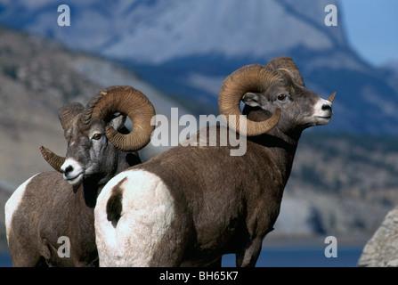 Rocky Mountain Bighorn Schafe Rams (Ovis Canadensis), Jasper Nationalpark, Kanadische Rockies, Alberta, Kanada  - Stockfoto