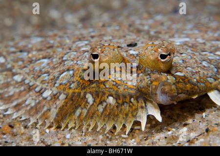 Mittelmeer-Sohle, Monchirus Hispidus, Tamariu, Costa Brava, Mittelmeer, Spanien - Stockfoto