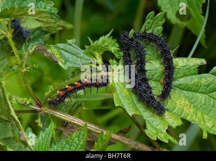 Cluster-Schmetterling europäischen Pfau (Nymphalis Io) Raupen auf Brennnesseln. - Stockfoto