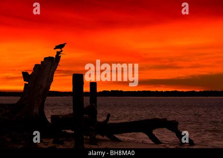 Fischadler bei Sonnenuntergang, Fort Myers Beach, Florida USA - Stockfoto