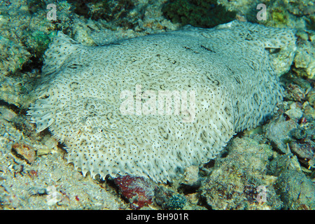 Sohle, Pardachirus SP., Soma Bay, Safaga, Rotes Meer, Ägypten - Stockfoto