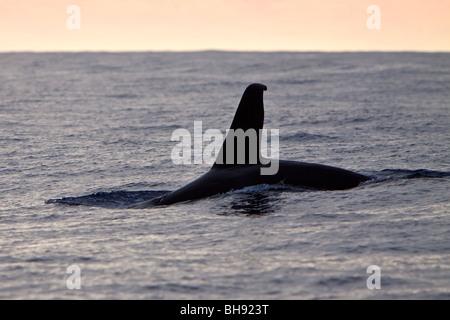 Rückenflosse von transienten Orca Orcinus Orca, Big Island, Kona Coast, Hawaii, USA - Stockfoto