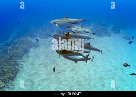 Herde von Hawaiian Delfinen Stenella Longirostris, Big Island, Kona Coast, Hawaii, USA - Stockfoto