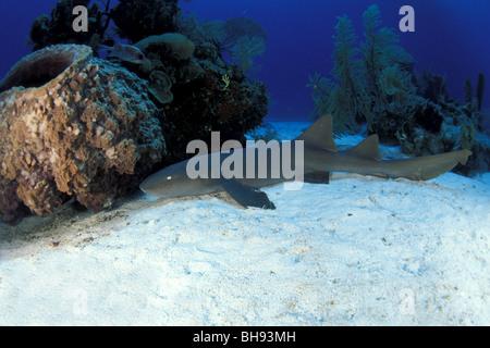 Atlantische Ammenhai, Ginglymostoma Cirratum, Karibik, Turks-und Caicosinseln - Stockfoto