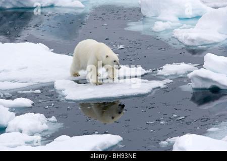 Polar Bär, Ursus Maritimus, Spitzbergen, Svalbard-Archipel, Norwegen - Stockfoto
