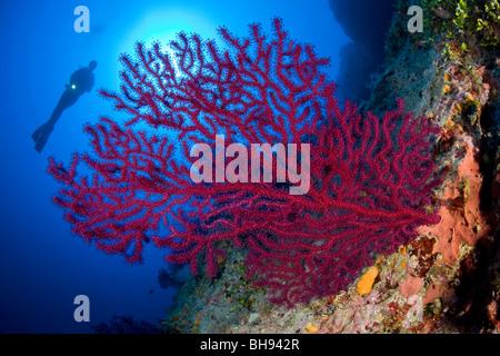Rote Gorgonien und Taucher, Paramuricea Clavata, Ponza, Mittelmeer, Italien - Stockfoto
