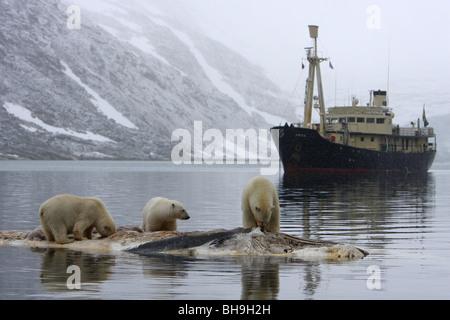 Eisbär Ursus Maritimus drei ständigen Fütterung auf eine Fin Walkadaver in das Wasser mit dem Schiff die Orino im - Stockfoto