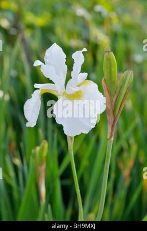 Sibirische Schwertlilie (Iris pumila 'white Swirl') - Stockfoto