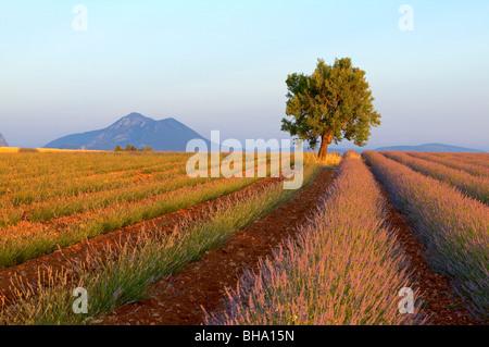 Lavendel Feld, Mandel-Baum, Plateau de Valonsole, Alpes de Haute Provence, Frankreich - Stockfoto