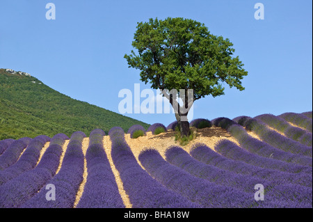 Lavendel-Feld und Baum, Drome, Provence, Frankreich - Stockfoto