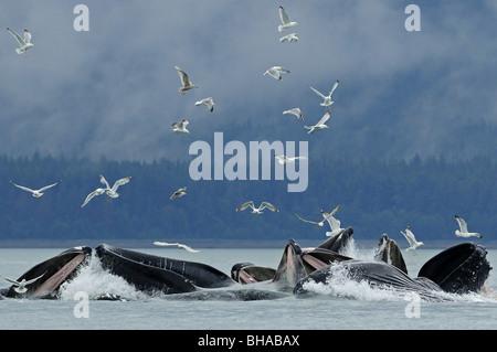 Net für Hering in der Nähe von Juneau mit Möwen füttern overhead im Sommer in Southeast Alaska Buckelwal Blase - Stockfoto
