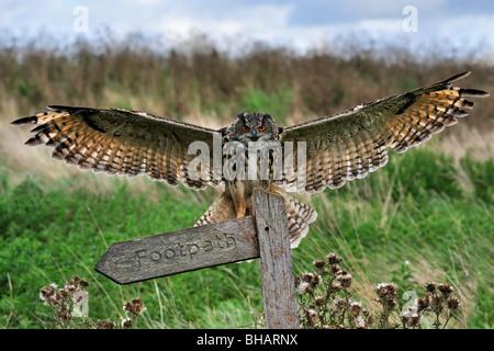 Eurasische Adler-Eule (Bubo Bubo) Landung mit Flügeln verteilt auf Barsch auf Wiese, England, UK - Stockfoto