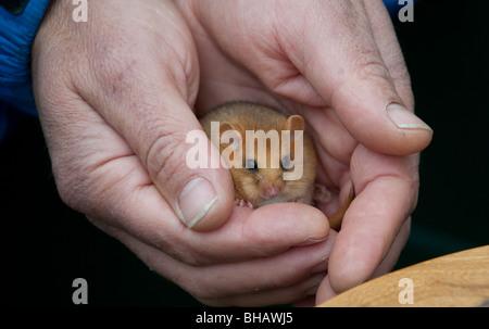 Ein in Gefangenschaft gezüchtete Hasel Haselmaus (Muscardinus Avellanarius) - Stockfoto