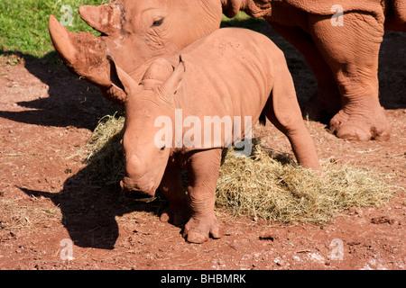 Baby weiße Nashorn mit Mutter - Stockfoto