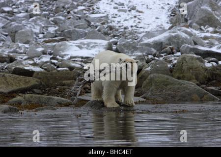 Eisbär Ursus Maritimus stehen auf Felsen am Rand Wassers spielt mit Toten Möwe, die es in seinem Mund herum schwingt - Stockfoto