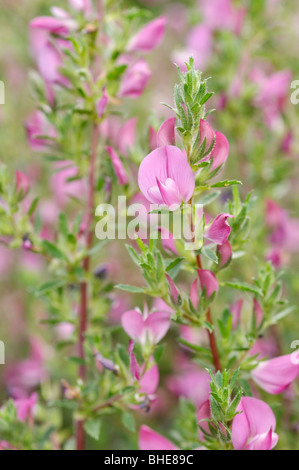 Stachelige restharrow (ononis spinosa) - Stockfoto
