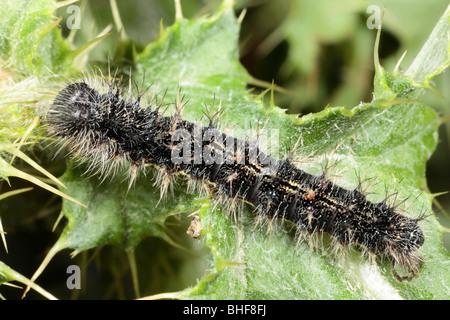 Große Larven eines Schmetterlings Distelfalter (Vanessa Cardui) auf einem Blatt der schleichenden Distel Fütterung. - Stockfoto